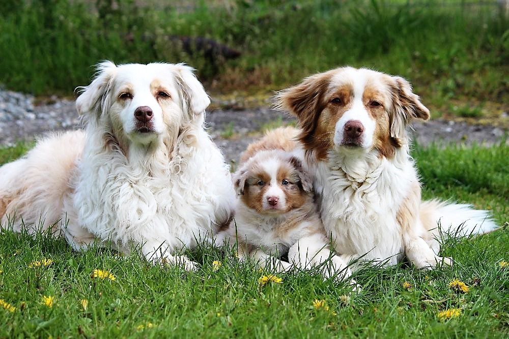 Australian Shepherd Miley mit Mutter und Oma