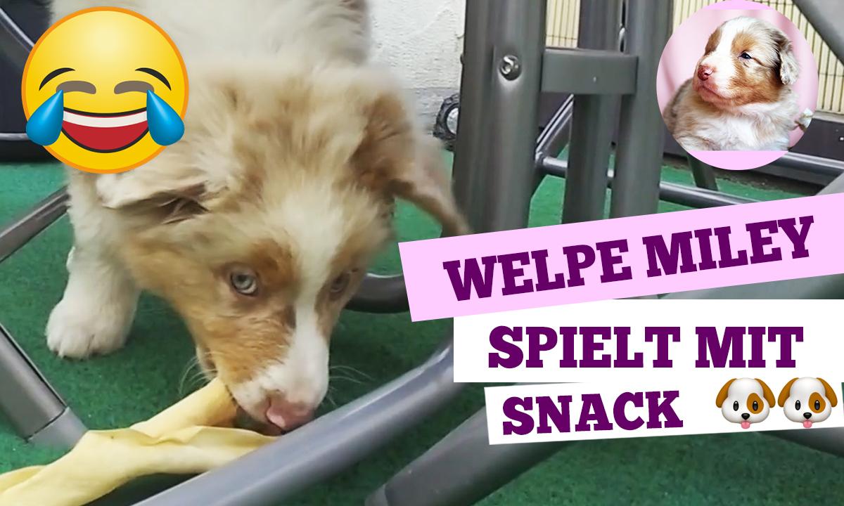 Welpe Miley spielt mit einem Snack 🐶💕 Der Australian Shepherd Welpe bekommt seine 5 Minuten